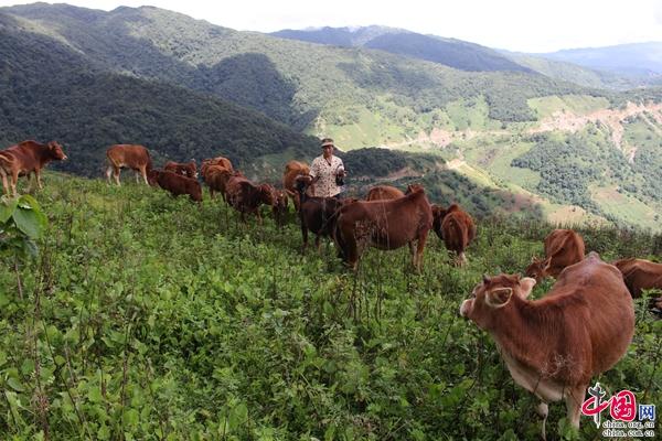 """普洱市和平镇产业发展卯足""""牛""""劲"""